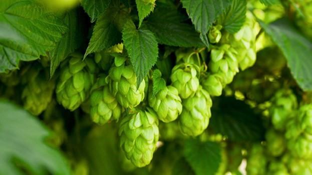 Hoa bia làm bia có hương thơm cùng vị đắng dịu đặc trưng
